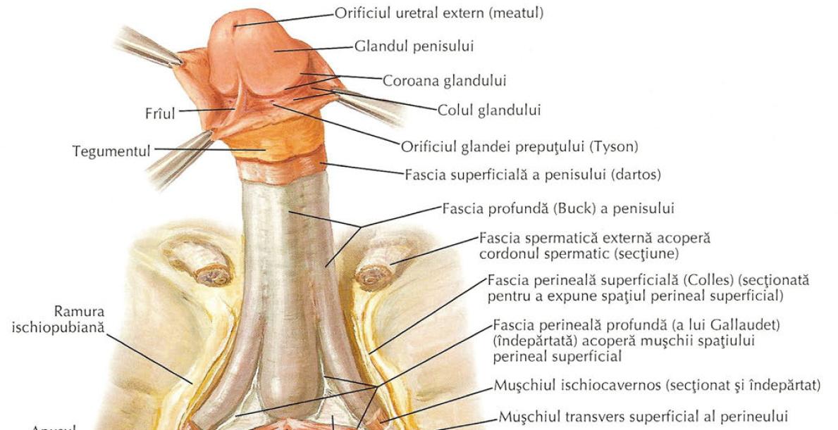 formă neobișnuită a penisului