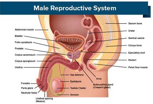 Boli ale aparatului genital masculin - generalitati