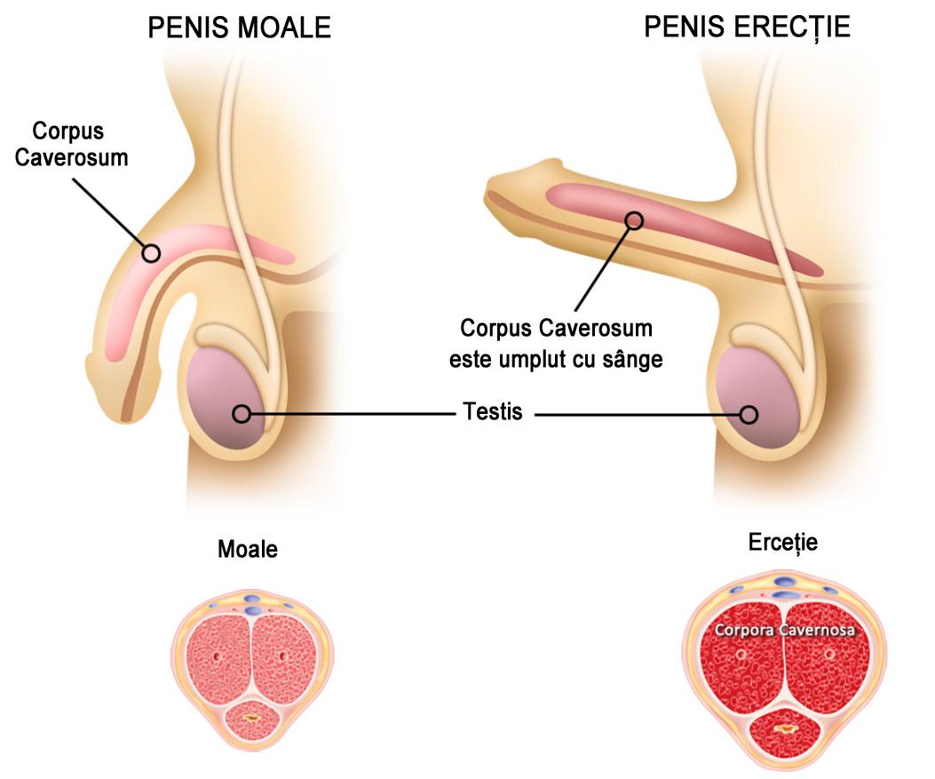 penisul în timpul erecției este moale