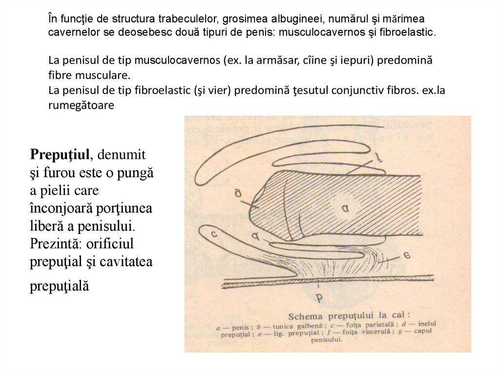 funcțiile inelului penisului)