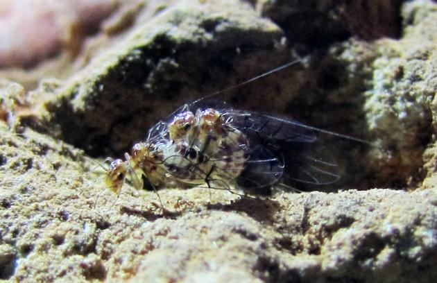 Cea mai zgomotoasă insectă de pe Terra are penis