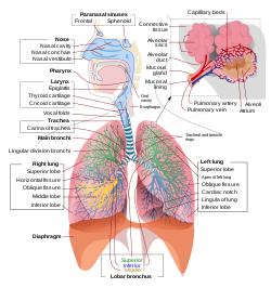 total penis lung