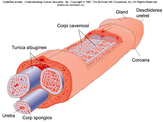 penisul cade rapid în timpul erecției
