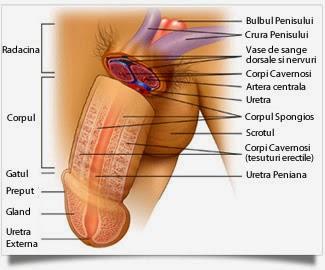 timpul de erectie a penisului)