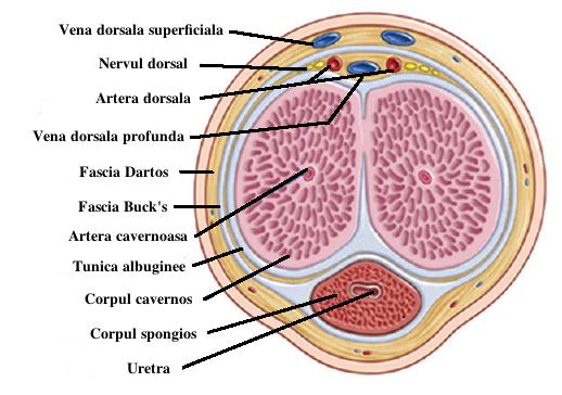 nervul dorsal al penisului