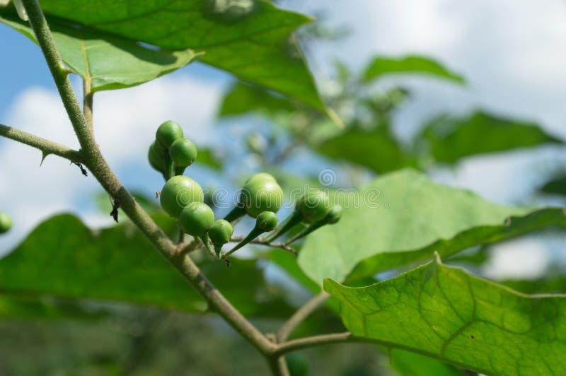 erecția semințelor de dovleac