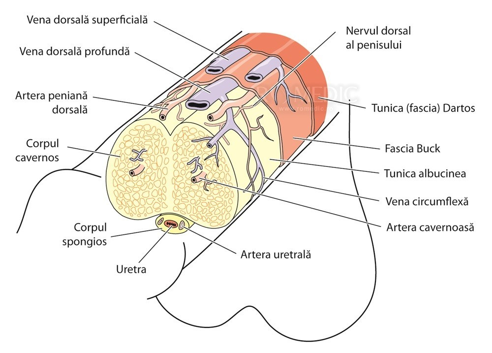 partea din față a penisului