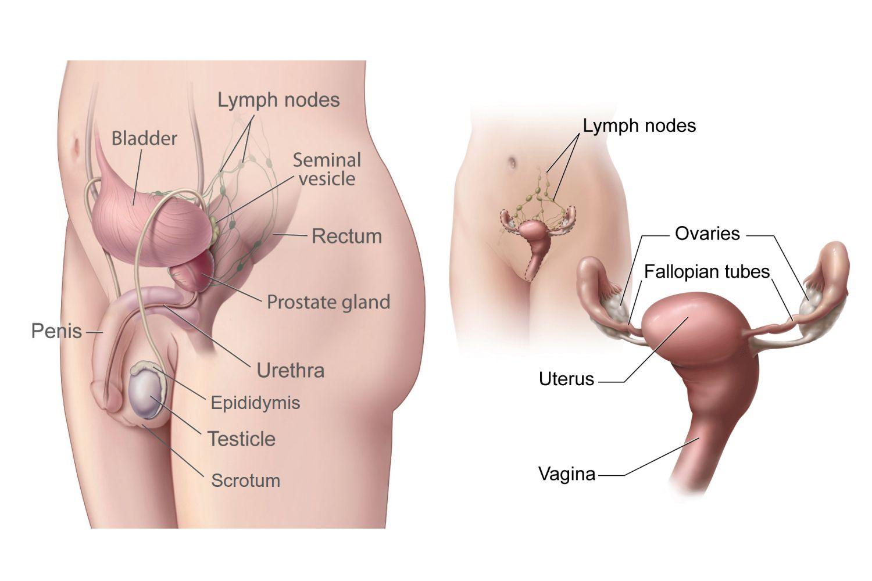 hormoni de creștere a penisului)