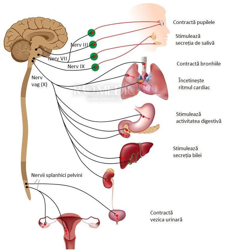 Nervul dorsal al clitorisului - Dorsal nerve of the clitoris - bogdanbarabas.ro