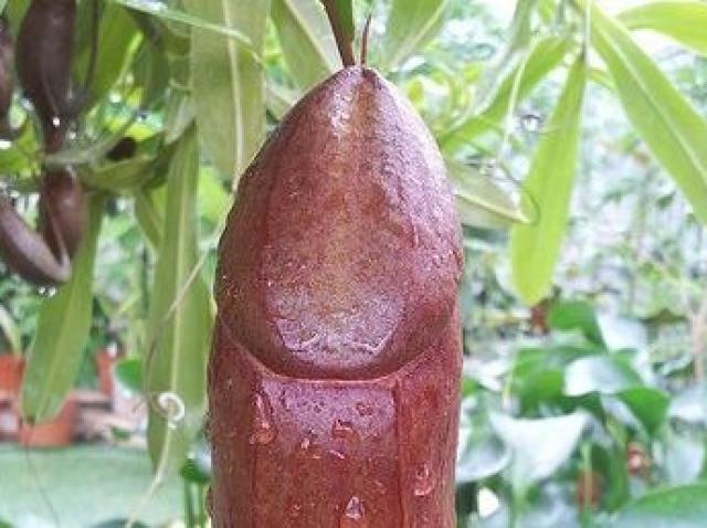 planta pentru penisul plantelor)