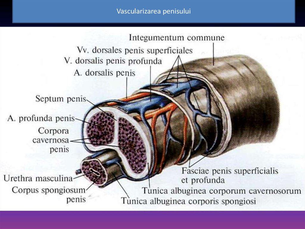 structura și tipurile penisului)