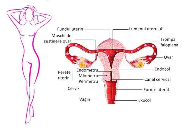 Ce modificări apar la nivelul organelor sexuale masculine pe măsura înaintării în vârstă