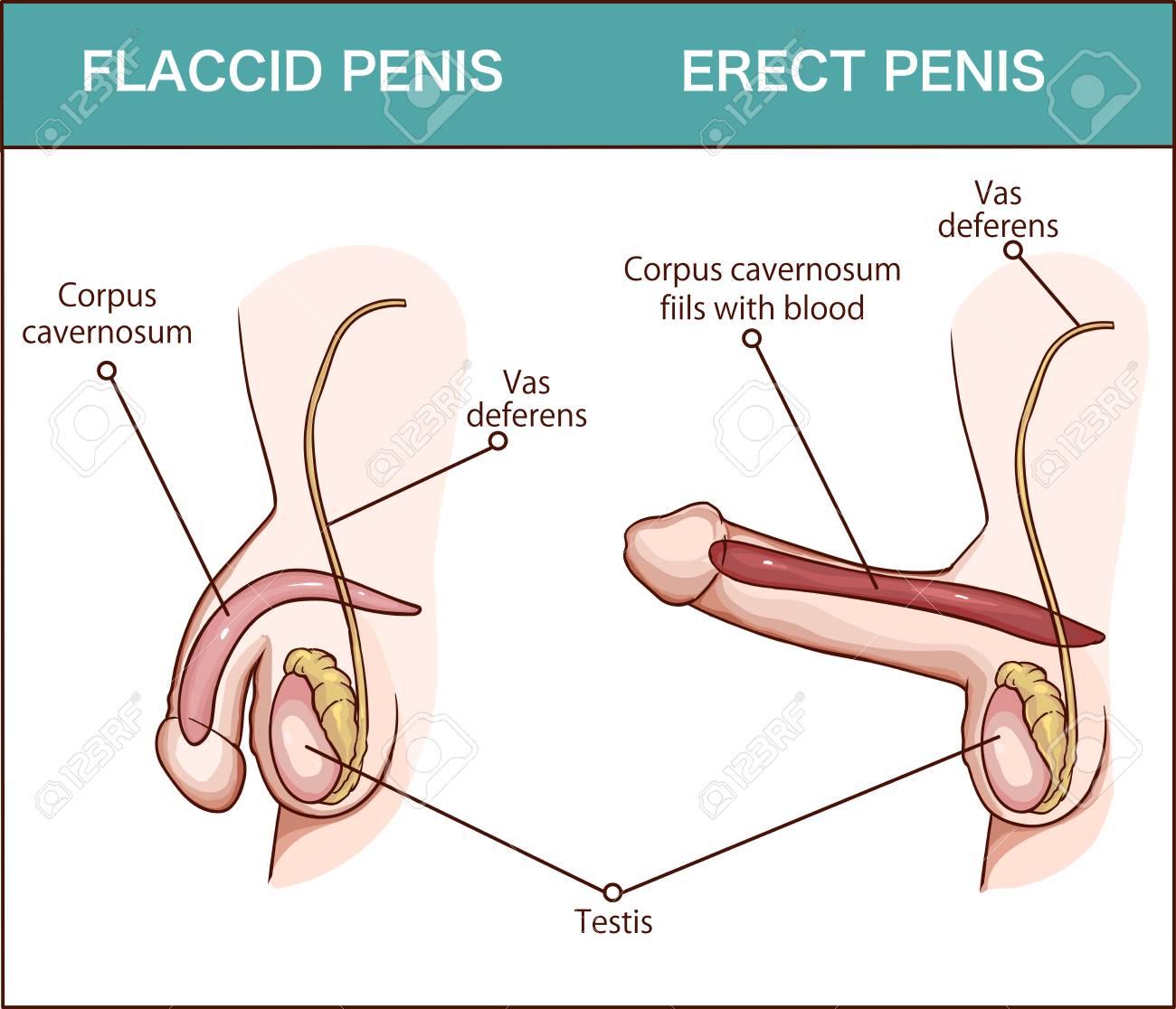 organ penis penis)