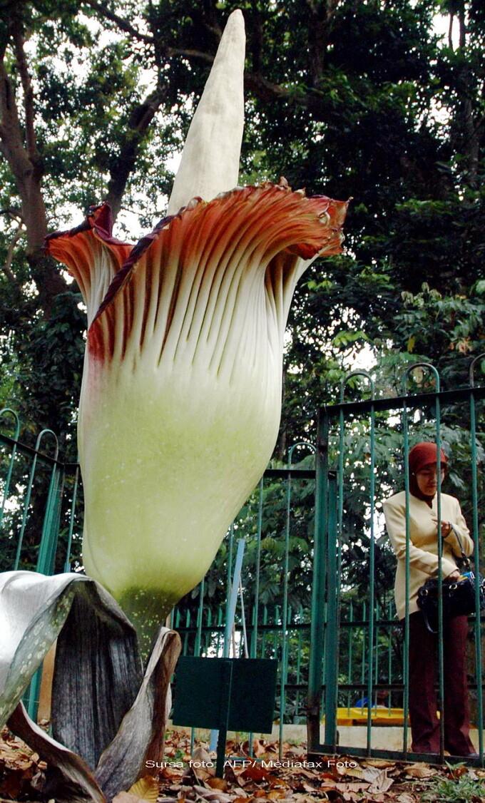 plante penisuri