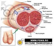 forma și structura penisului