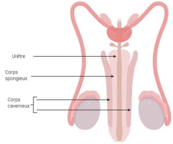 Penisul | Anatomie si fiziologie