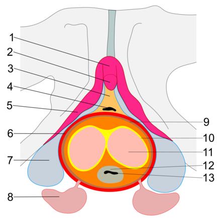 erecția mamelonului feminin