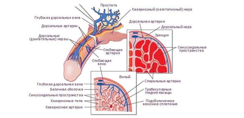 Muşchii şi stimularea sexuală