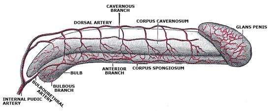 Penisul – noțiuni de anatomie si fiziologie – bogdanbarabas.ro