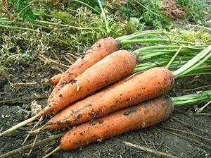 forma penisului morcov dimensiunea penisului lungime lățime