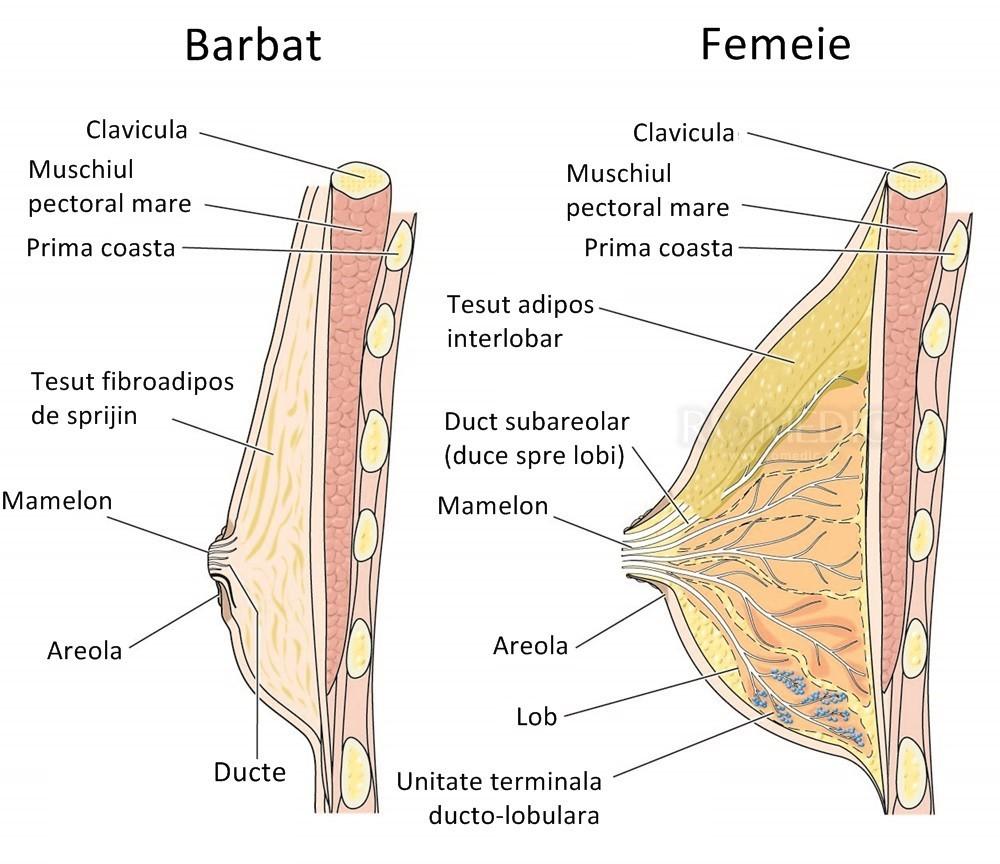 erectie mamelonara feminina)