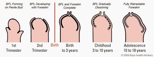 la ce vârstă crește penisul?)