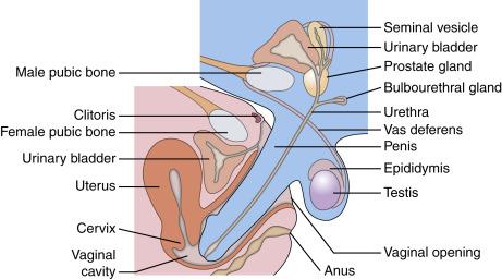 penis mare în contact)