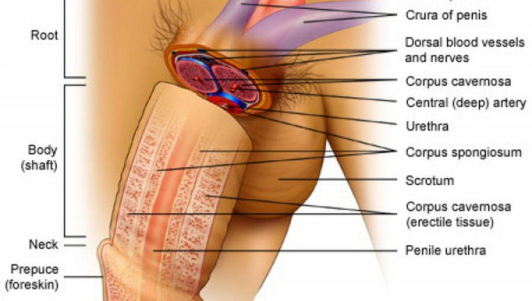 organele genitale masculine în erecție