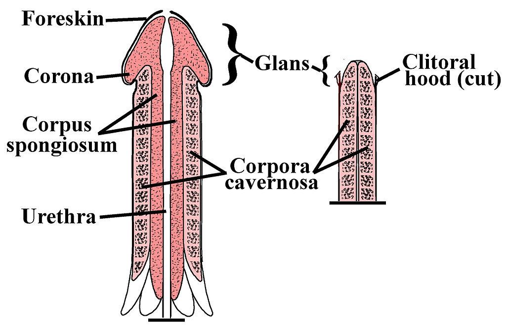 ceea ce este considerat un penis mare și mic a ieșit pe penis
