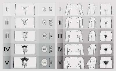 structura și dimensiunea penisului