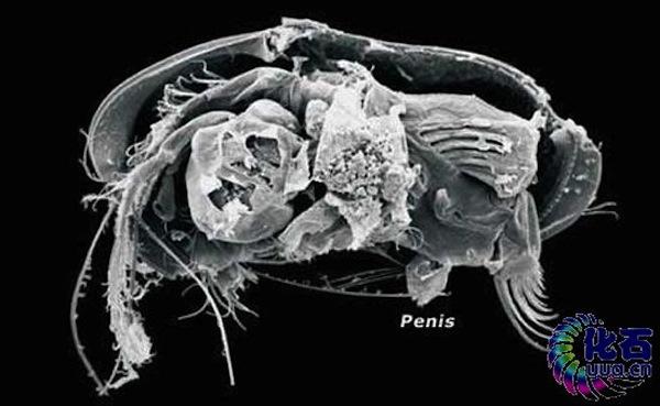 Dimensiunea penisului uman - Human penis size - bogdanbarabas.ro