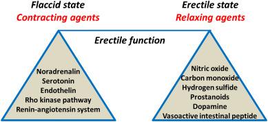 erectie intestinala