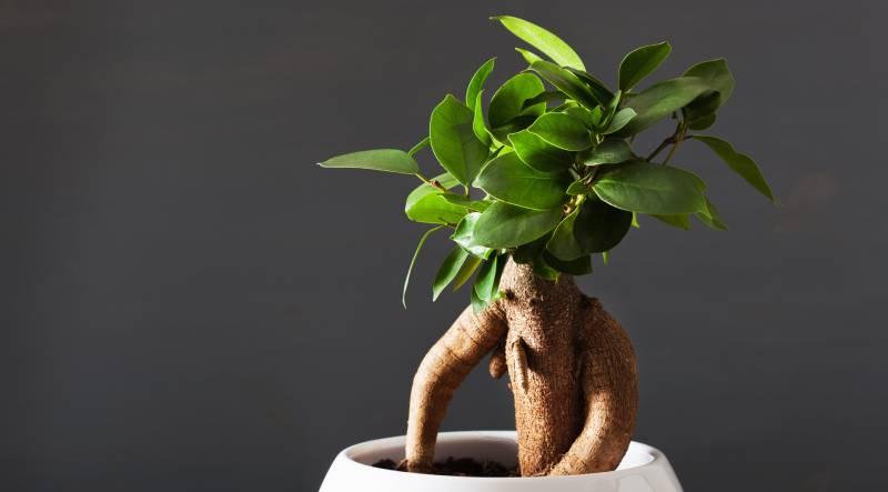 planta îmbunătățește erecția)