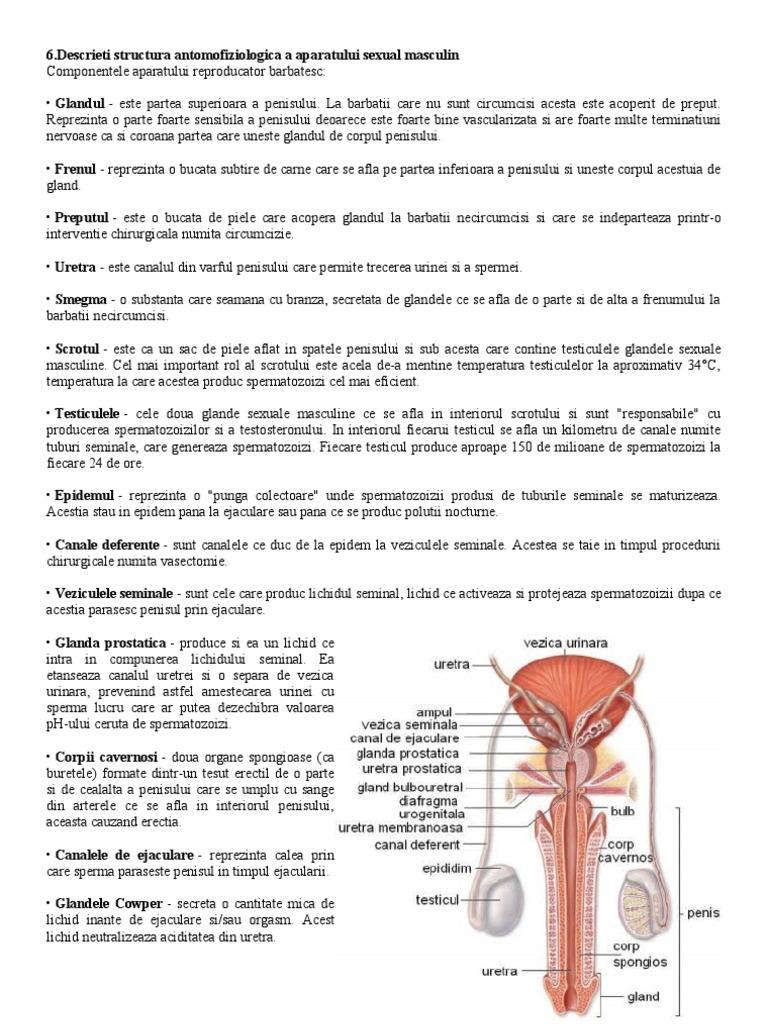 structura la bărbații penisului