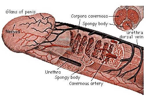 acupunctura de erectie