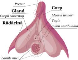 erecția inferioară este