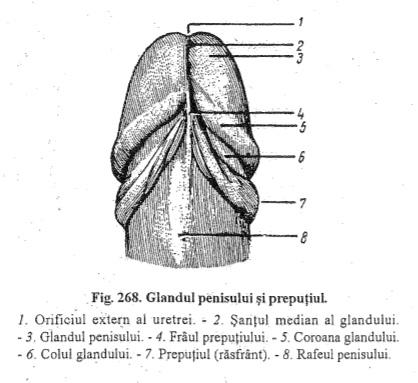 suprafața dorsală a penisului)