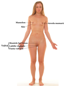 organele genitale masculine erectia lor)