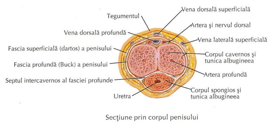 toate organele penisului)