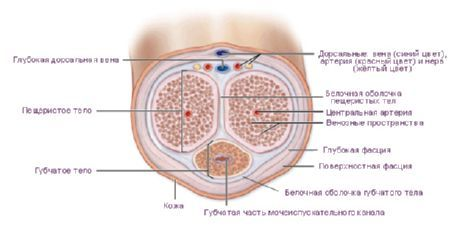 cusătura penisului)