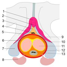 excitația masculină este o erecție