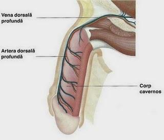 inele de mărire a penisului)