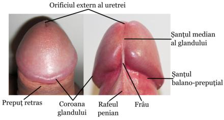 coroană penis masculin