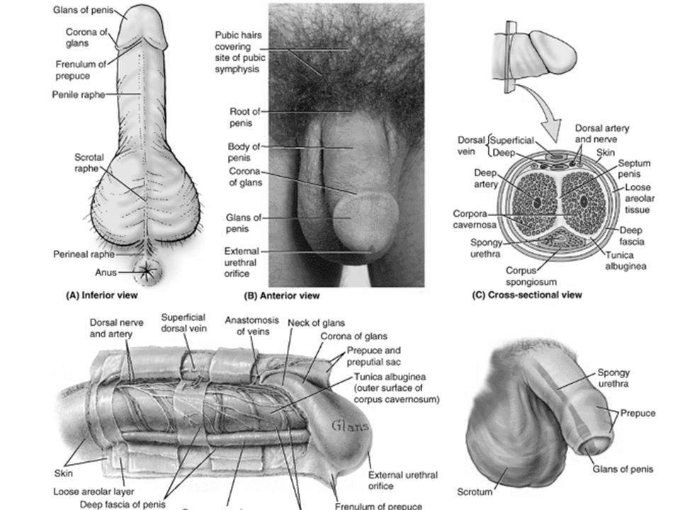 dimensiunea formei penisului