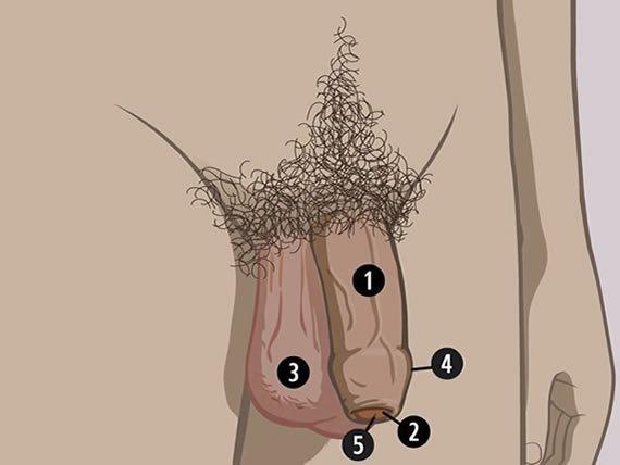 structura penisului porcului)