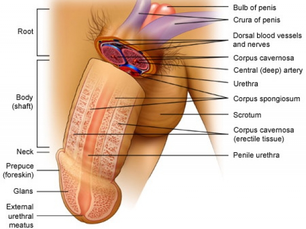 corpul masculin al penisului)
