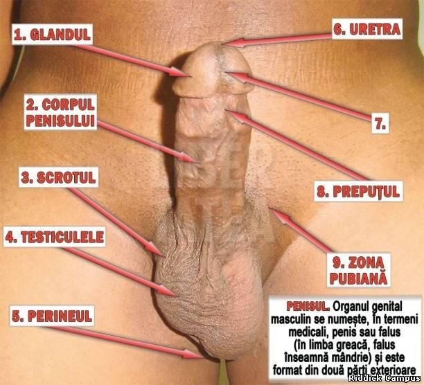 organul genital masculin înainte și după erecție)