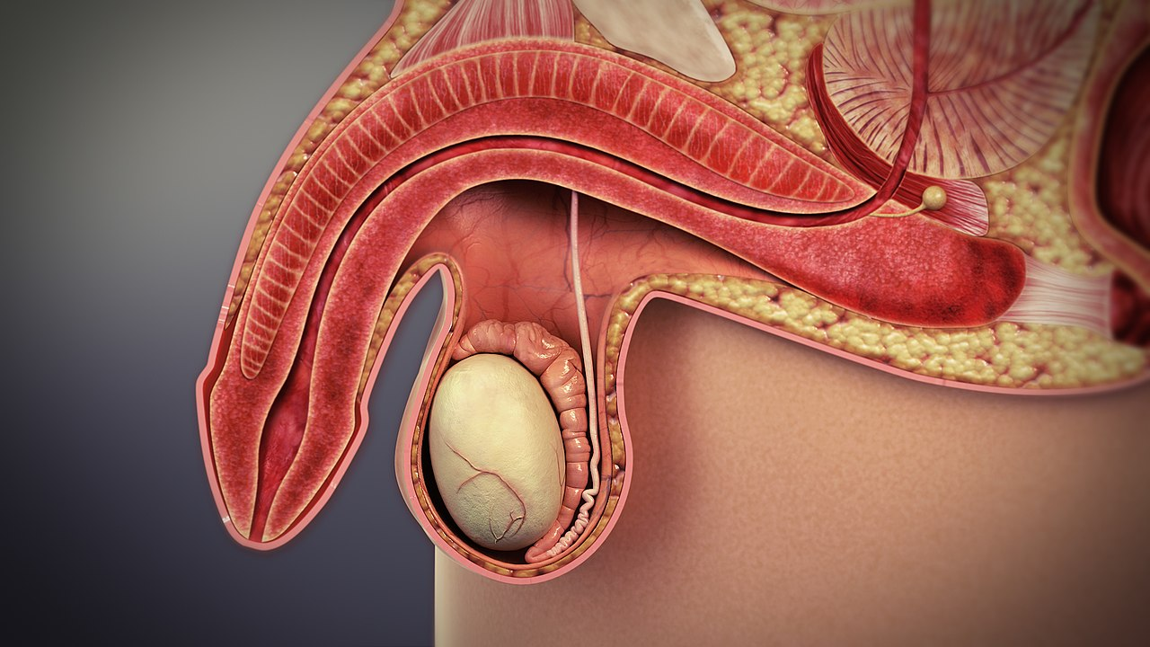 organe de înlocuire a penisului lustruirea penisului