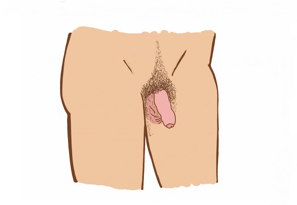organele genitale masculine în erecție)