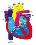 prolapsul și erecția valvei mitrale)